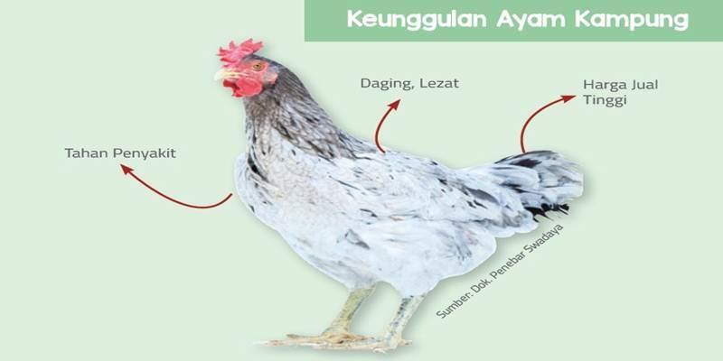 Meskipun Berlabel 'Kampung', Ayam ini Tetap Menjadi Favorit Masyarakat