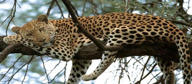 Miris, Macan Tutul di Gunung Gede Tersisa 32 Ekor