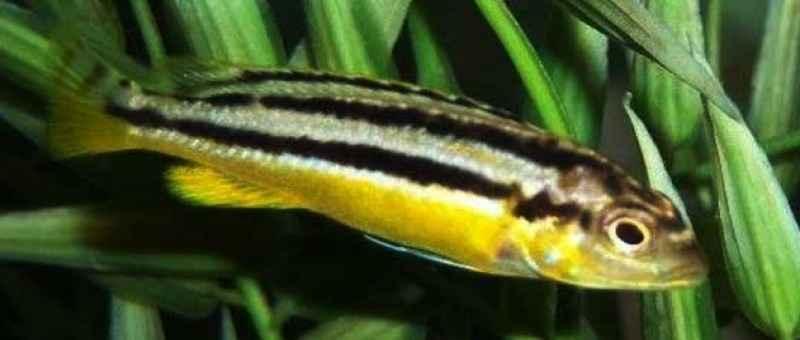 Pemijahan Ikan Niasa