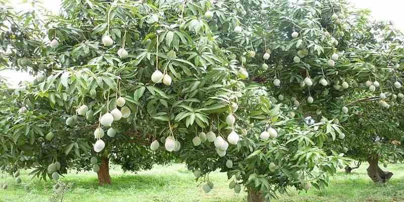 Pohon yang Kotor Menyebabkan Ispa dan Jantung