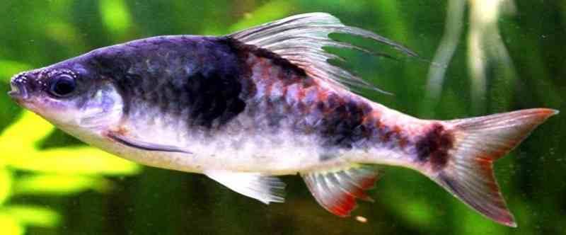 Teknik Perawatan Ikan Tambraparni Barb