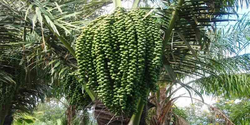Tips Menanam Pohon Aren