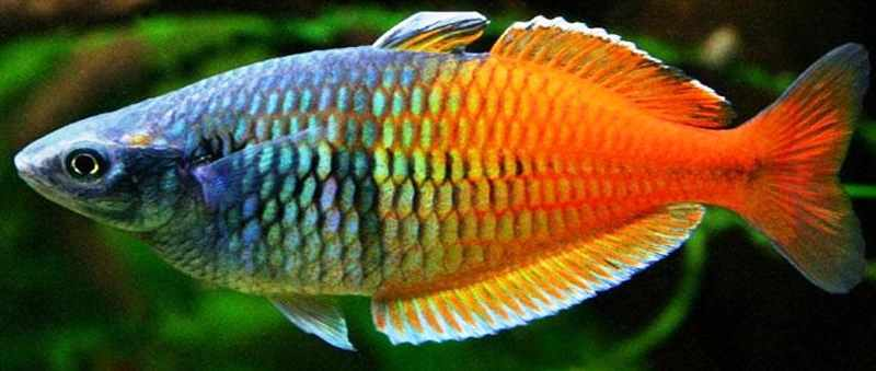 Tips Pembenihan Ikan Rainbow Kurumoi