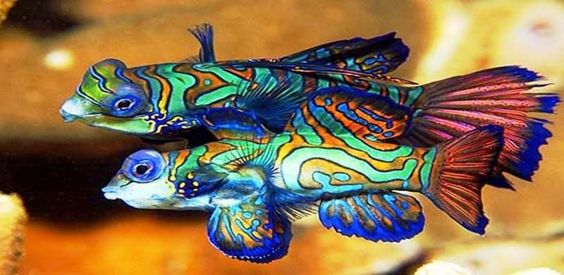Yuk Kenalan dengan Ikan Mandarin fish