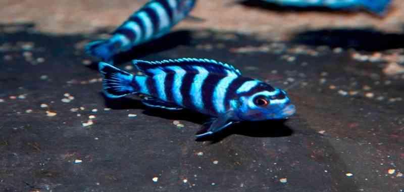 Yuk Mengenal Ikan Demasoni