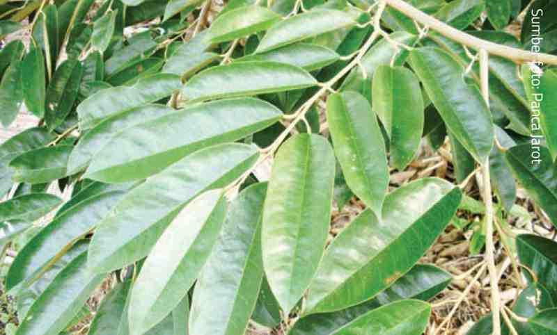 daun durian