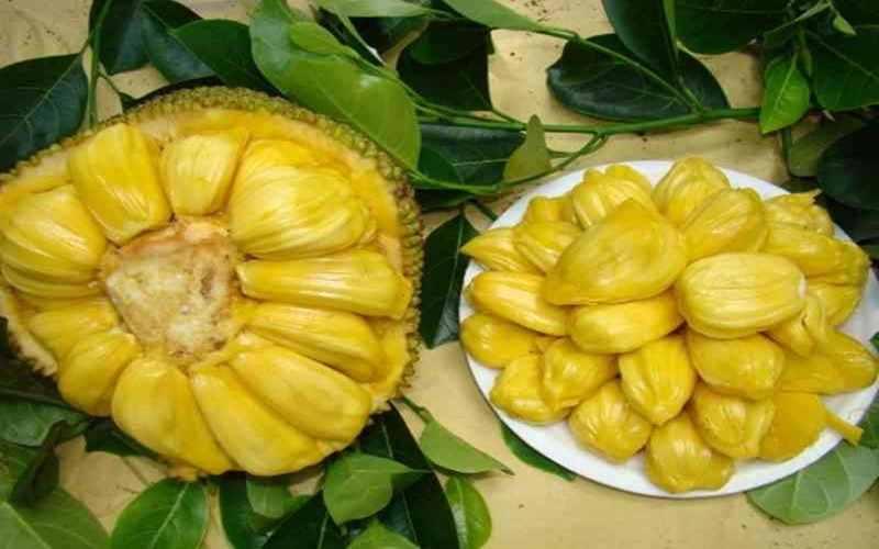 Kegunaan dan Agroekologi Nangka