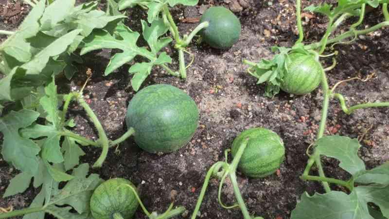 semangka 5