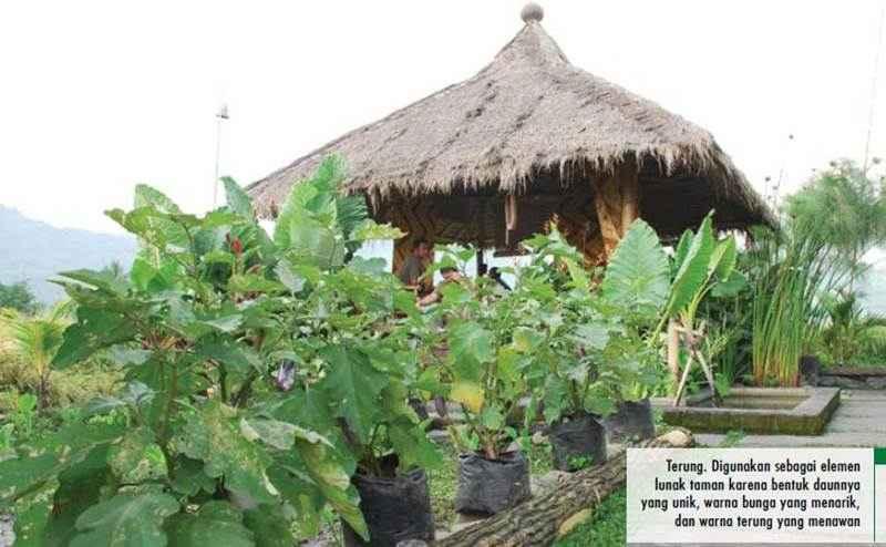 tanaman sayur terung