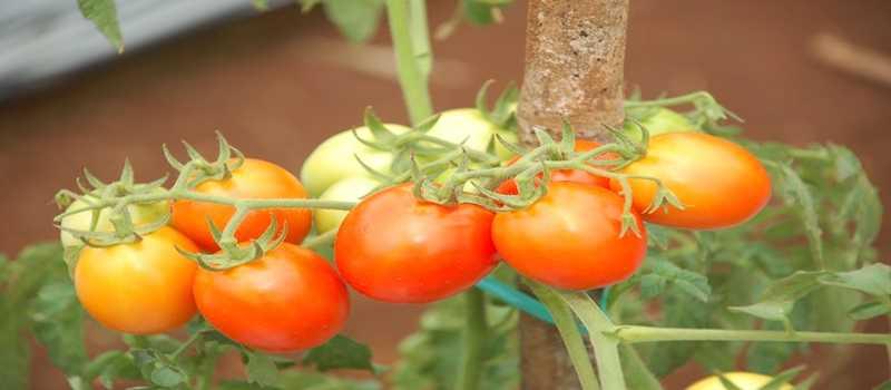 Belajar Cara Memelihara dan Perawatan Budidaya Tomat