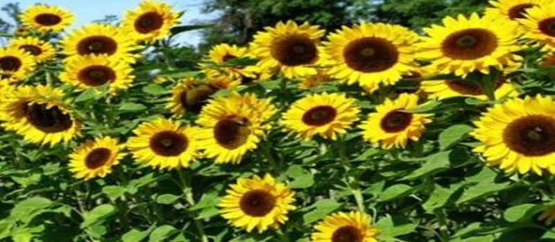 Belajar Menanam Bunga Matahari dengan Cara yang Tepat