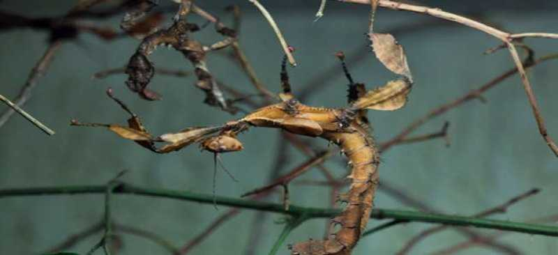 Belalang Tongkat, Serangga terpanjang Asal Cina