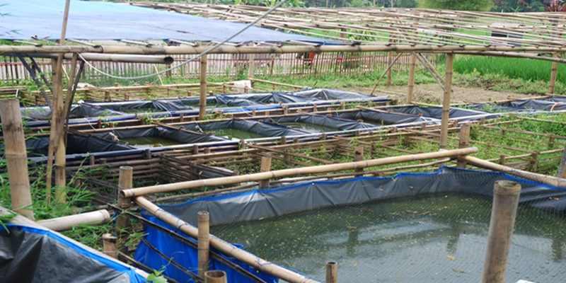 Budidaya Ikan Bawal di Kolam Terpal