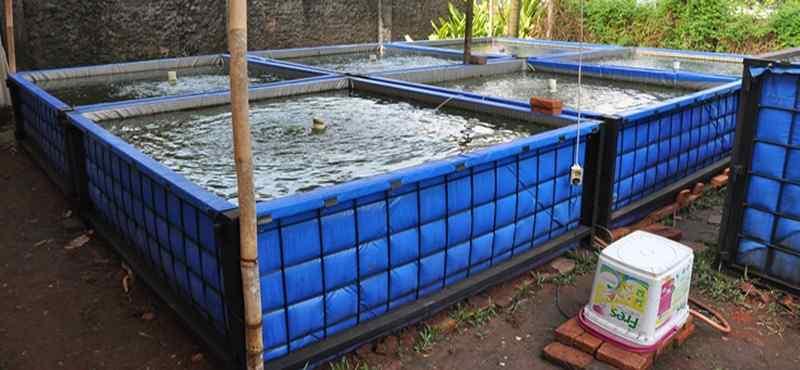 Cara Jitu Budidaya Ikan Mas di Kolam Terpal