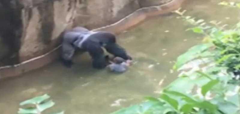 Demi Selamatkan Seorang Anak yang Jatuh Ke Kandang, Gorila di Tembak Mati di AS