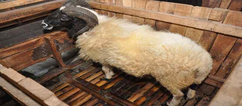 Hal Penting dalam Beternak Domba