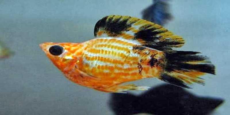 Ikan Molly Balon, Ikan Hias yang Tak Bertelur
