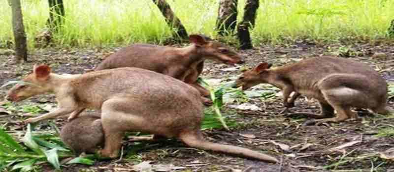 Ingin Melihat Kanguru di Indonesia Kesini Yuk