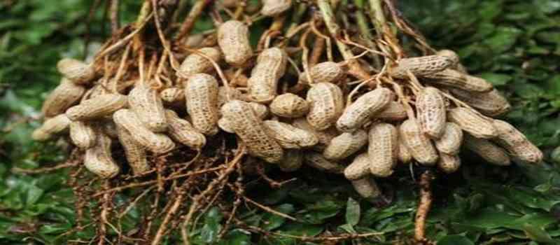 Inilah Cara Budidaya Kacang Tanah
