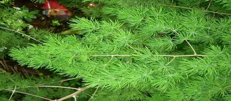 Kiat Budidaya Asparagus Agar Hasilnya Bagus