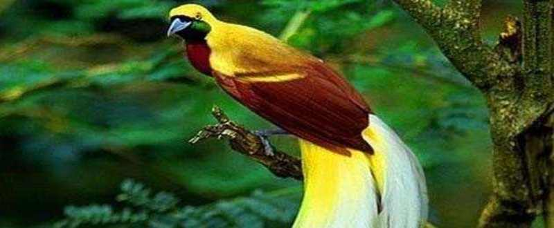 Lebih Dekat dengan Burung Cendrawasih Asal Papua