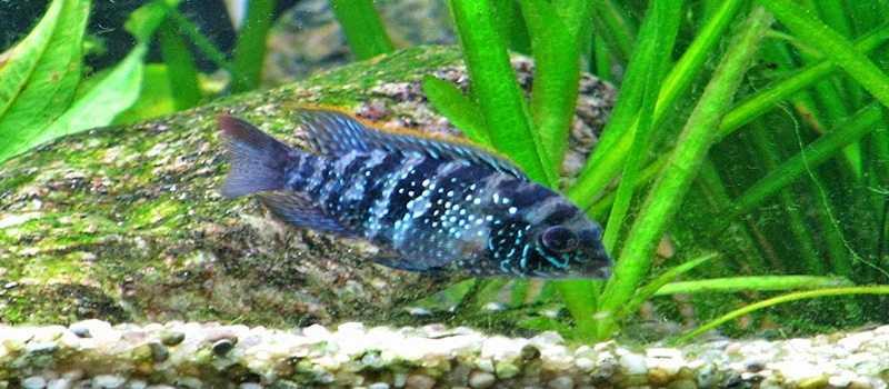Mengenal Ikan Andinoacara Pulcher