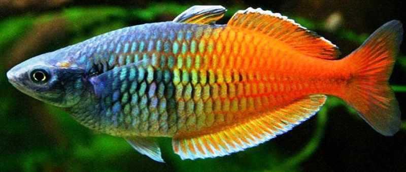 Mengenal Ikan Pelangi Asal Papua
