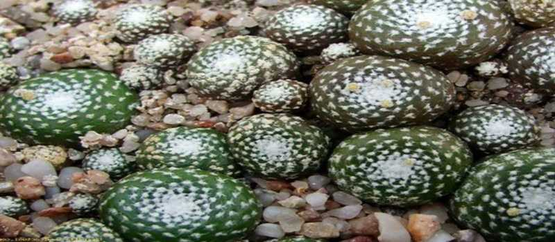 Mengenal Jenis-Jenis Kaktus dengan Bentuk Unik