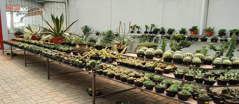 Mudahnya Budidaya Kaktus