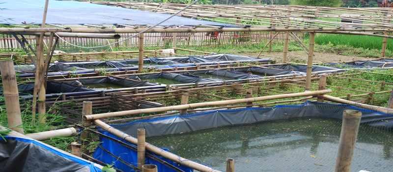 Prospek Budidaya Ikan Haruan Menggiurkan