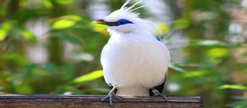Taman Burung di Singapura Turut Lestarikan Jalak Suren dan Jalak Bali
