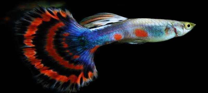 Teknik Tepat Pembenihan Ikan Guppy