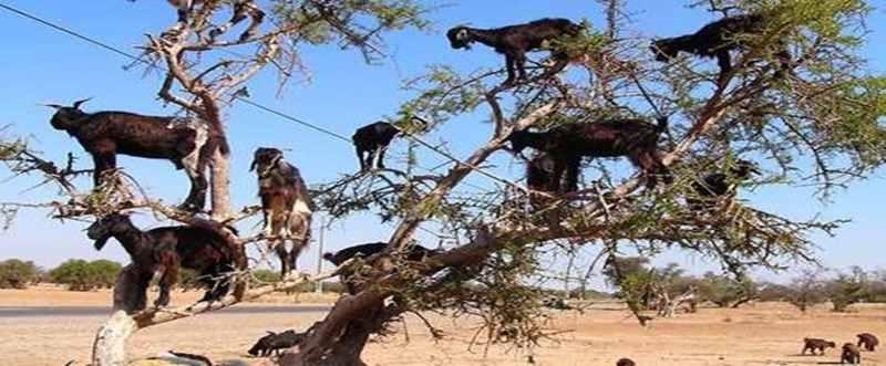 Unik, Kambing di Maroko Punya Hobi Memanjat Pohon