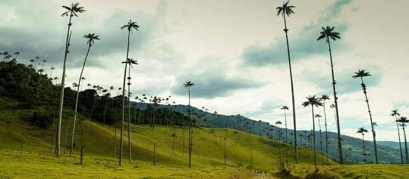 Wow, di Kolombia Terdapat Pohon Palem Tertinggi di Dunia