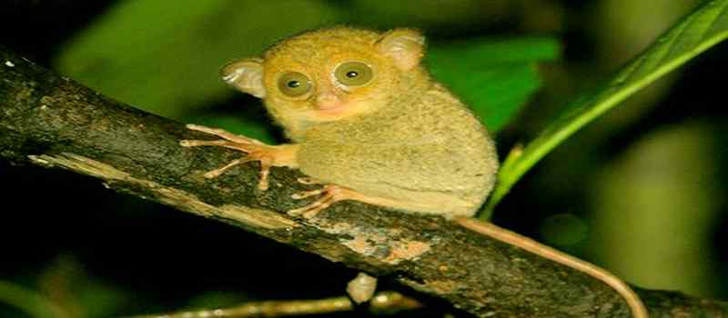 Yuk Kenalan dengan Hewan Mata Belo Tarsius