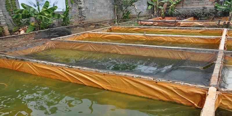 Persiapan Kolam Nila