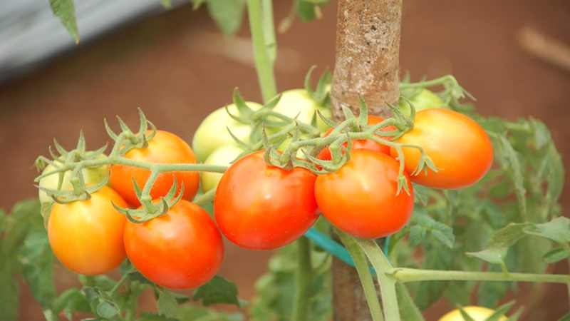 Menanam Tomat Ceri dalam Pot Itu Mudah
