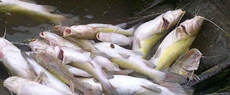 Langkah Tepat Pembenihan Ikan Baung