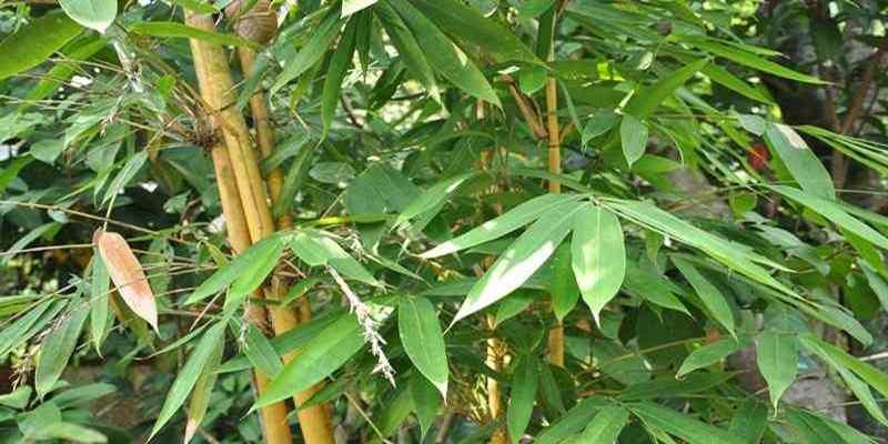 Mudahnya Budi Daya Bambu