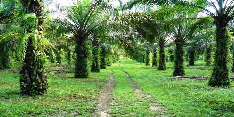 Pemerintah Tunda Izin 3,5 Juta Hektare Lahan Sawit
