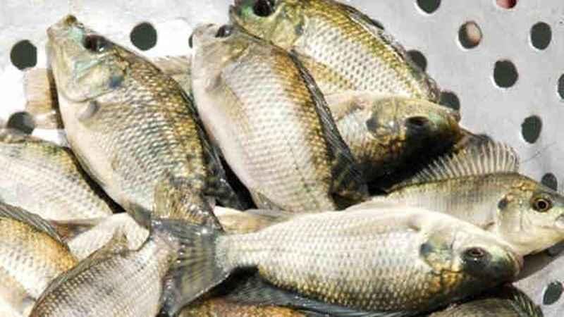 Cara Pengolahan Baby Fish Nila