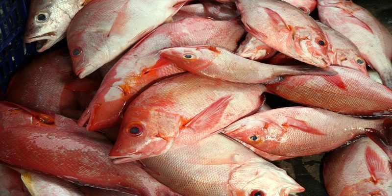 Teknik Budi Daya Ikan Kakap Agar Tak Gagal Panen