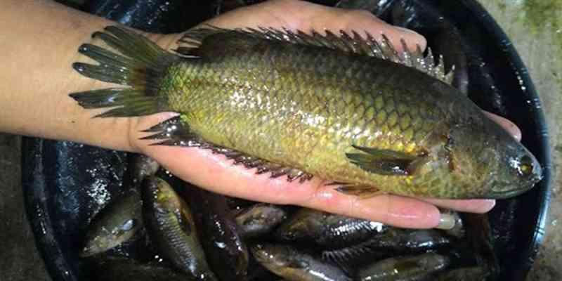 Teknik Tepat Pembenihan Ikan Betok