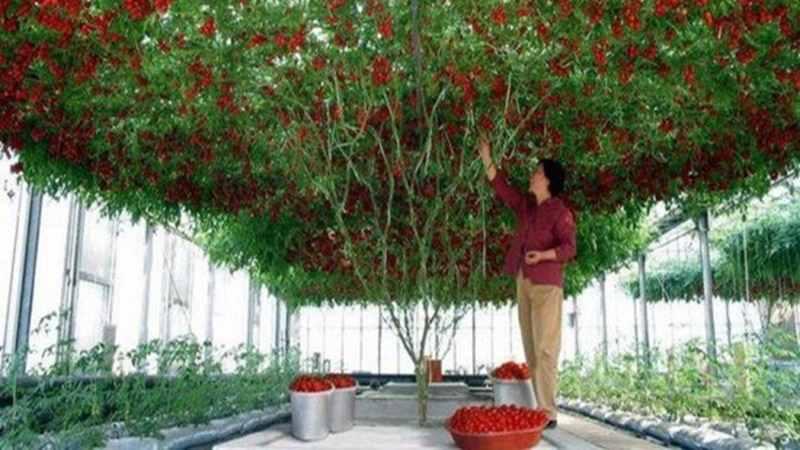Menakjubkan Pohon Tomat ini dapat Menghasilkan 32 Rubu Buah Saat Panen