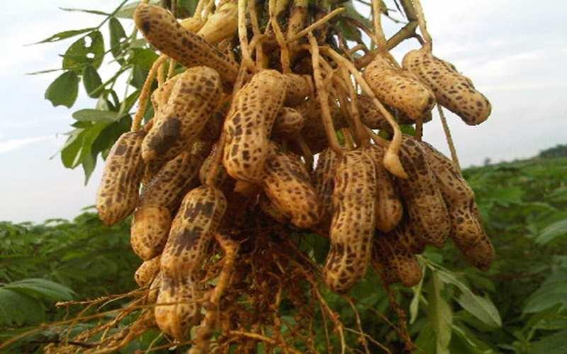Mengonsumi Kacang Tanah dapat Menjaga Kesehatan Jantung