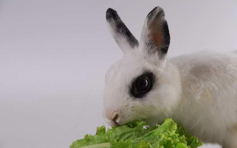 Mengonsumsi Daging Kelinci dapat Menyembuhkan Asma