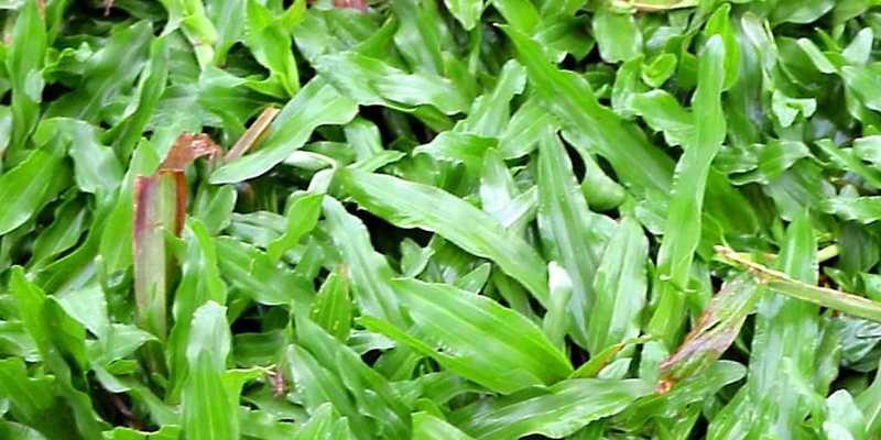 Ini Cara Merawat Rumput Hijau