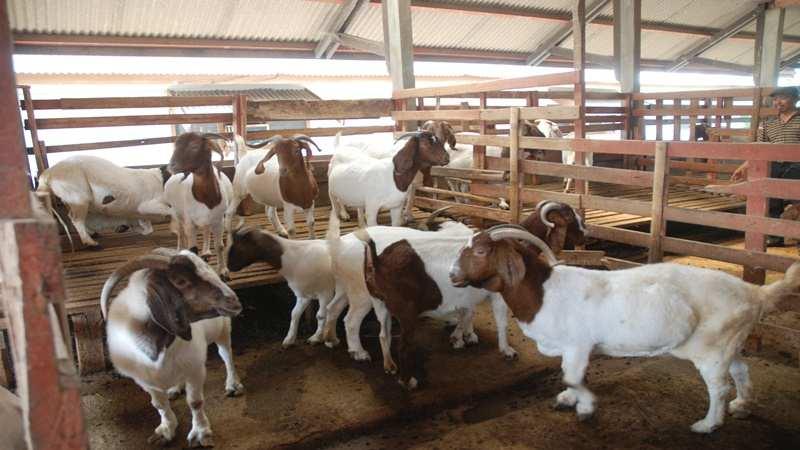 Seberapa Besar Peluang Usaha Beternak Kambing Gibas