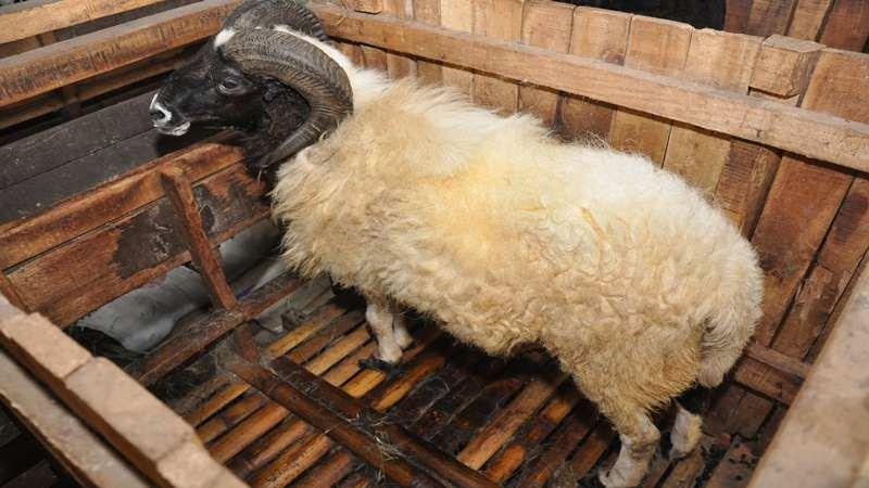Teknik Tepat Beternak Domba Agar Menghemat Biaya dan Waktu