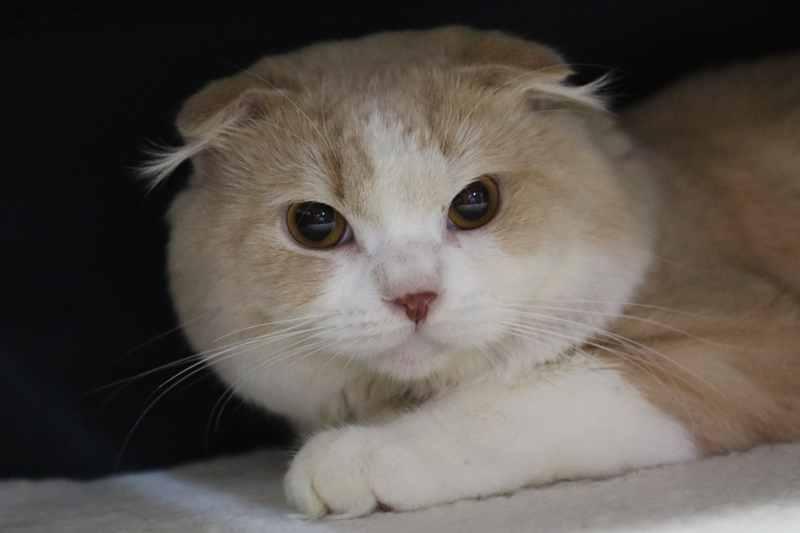 Potensi Besar Budi Daya Kucing Anggora